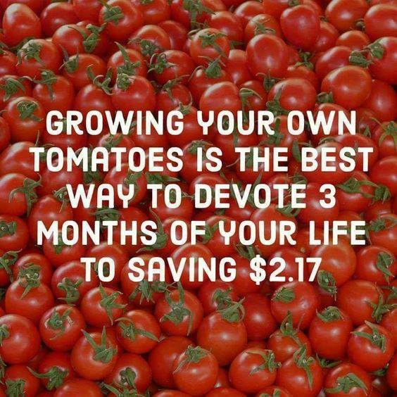 Growing your own tomatoes.jpg