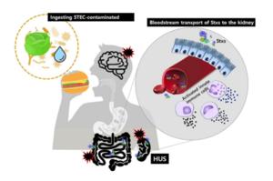 Hemolytic-uremic-syndrome-HUS.png