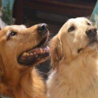 goldendogs