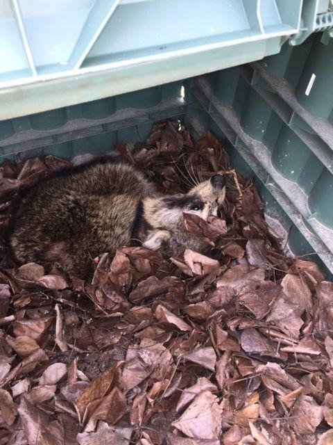 Raccoon problem | Smoking Meat Forums - The Best Barbecue Discussion